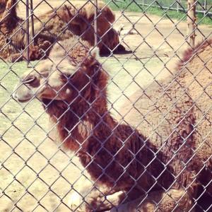 Camel Pueblo Zoo